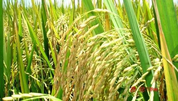arroz 03