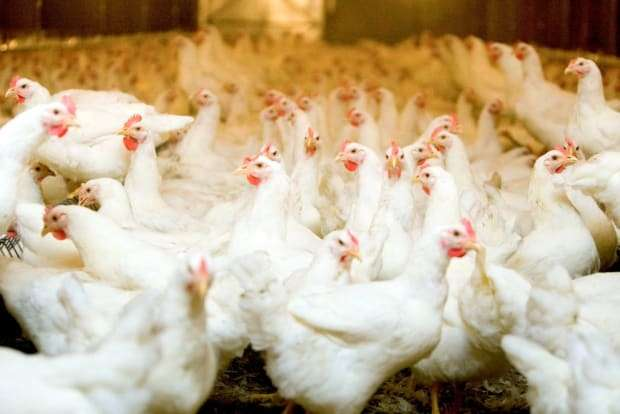 aviario credito Agrostock