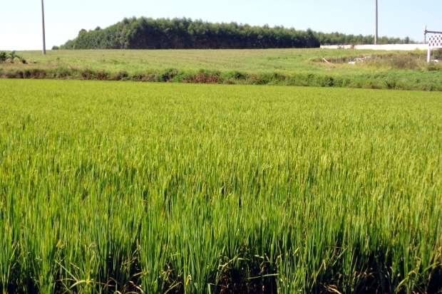 arroz Seguro