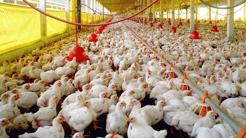 frangos avicultura
