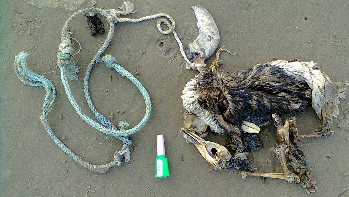 Acervo Museu -(2)Pinguim emalhado com artefatos de pesca