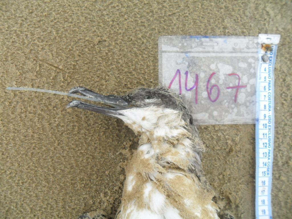 Acervo Museu – Bobo-pequeno ingerindo artefato de pesca