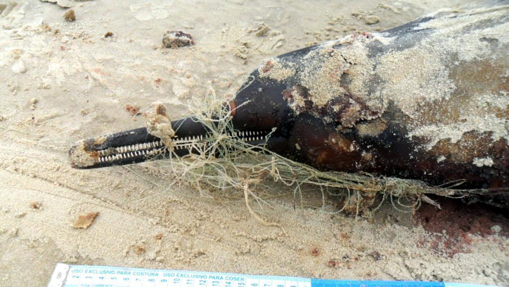 Acervo Museu -Toninha (2) emalhada com artefato de pesca