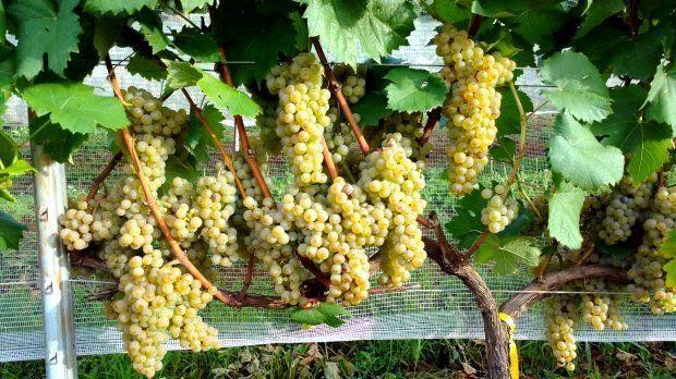 pesquisa da epagri sobre uvas viniferas resistentes a doencas promete revolucionar mercado 20180302 1211572190
