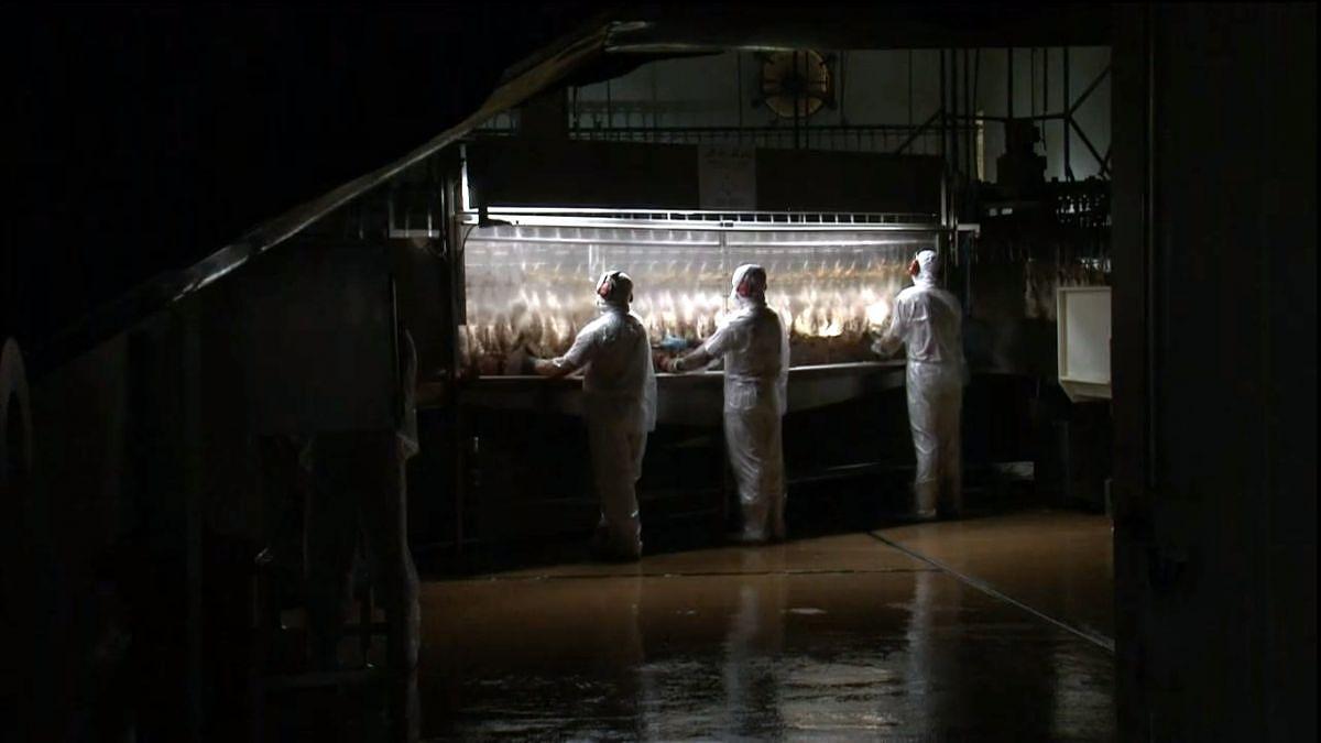frangos frigorifico jbs 2